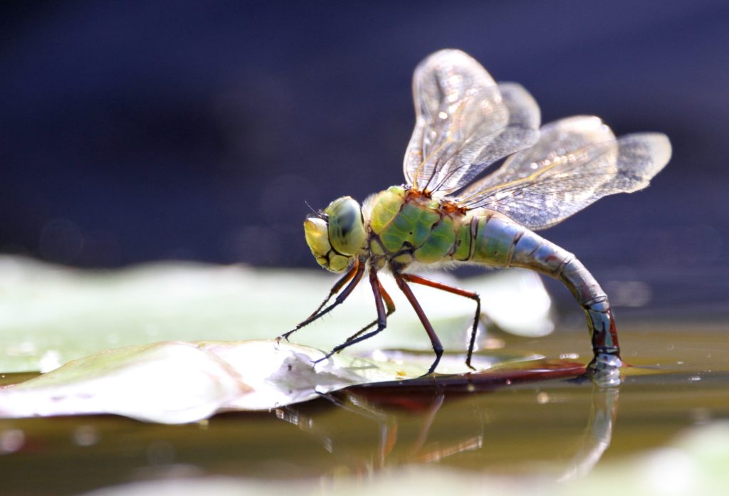 It's Dragonfly Week! Celebrating all things Odonata