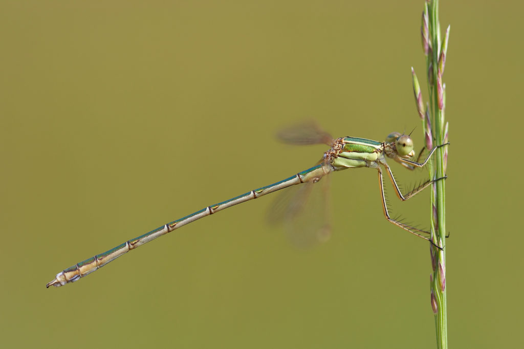New Damselfly Discovered on the Isle of Wight