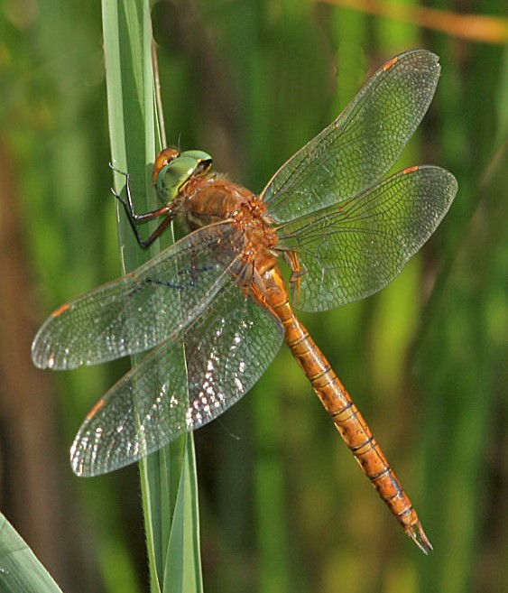 New Breeding Site for Norfolk Hawker confirmed