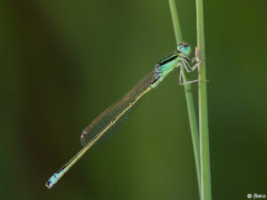 Scarce Blue-tailed Damselfly male © Fre?de?ric Barszezak
