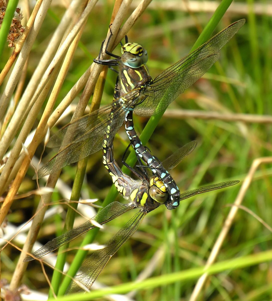 Life Cycle and Biology - British Dragonfly Society