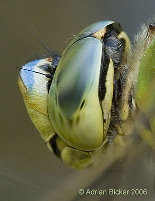 Head of Emperor Dragonfly showing huge compound eyes and small antennae
