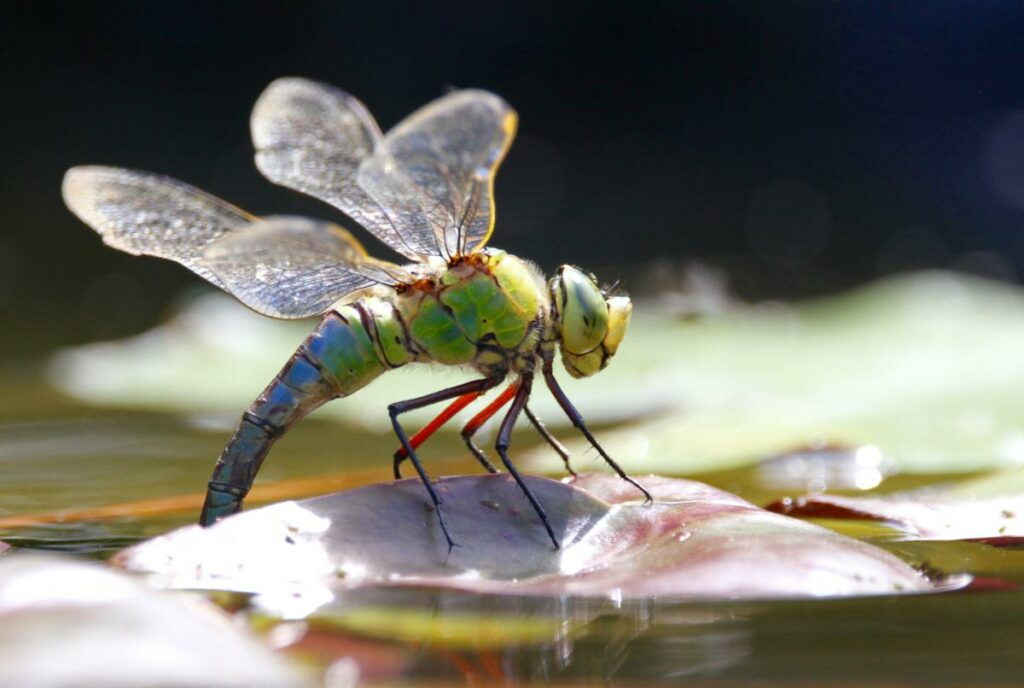 Emperor Dragonfly egg laying into a garden pond: Gordon Gray