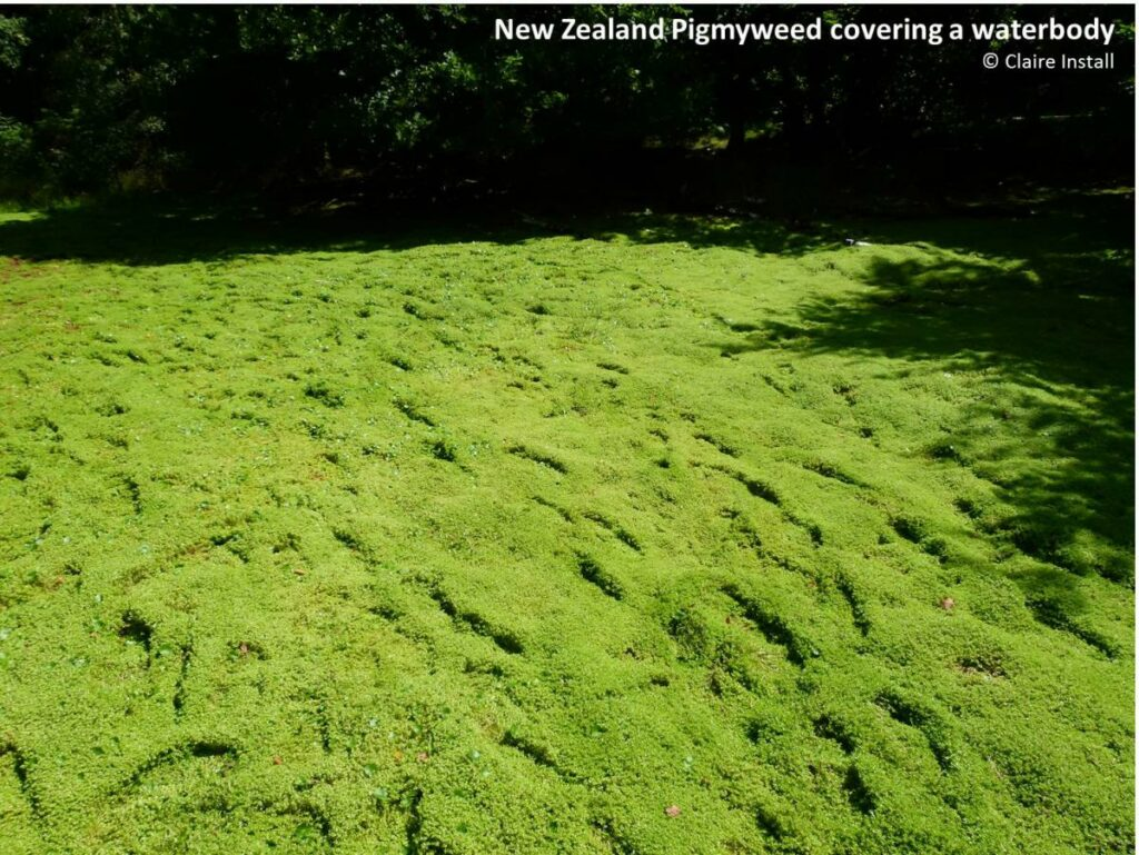 New Zealand Pigmyweed covering a waterbody