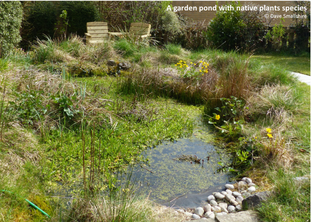 A garden pond with native plant species