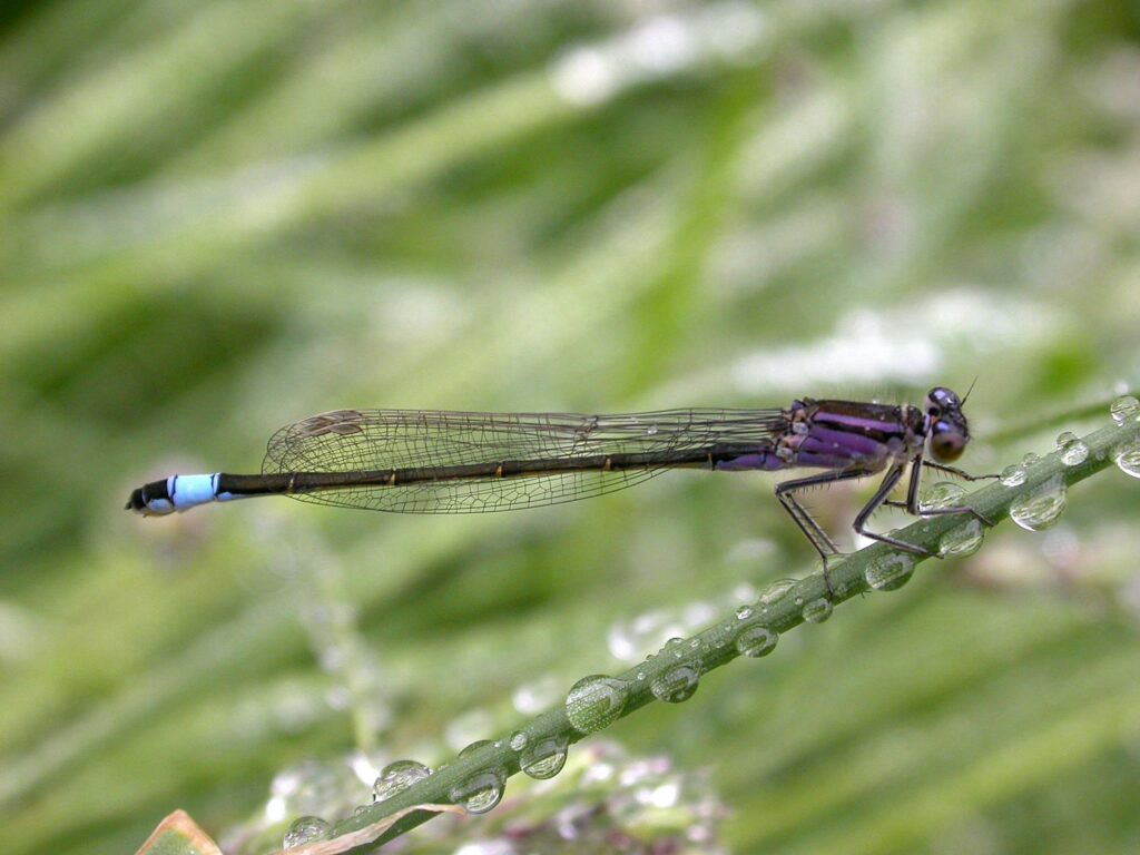 Blue-tailed Damselfly by David Kitching