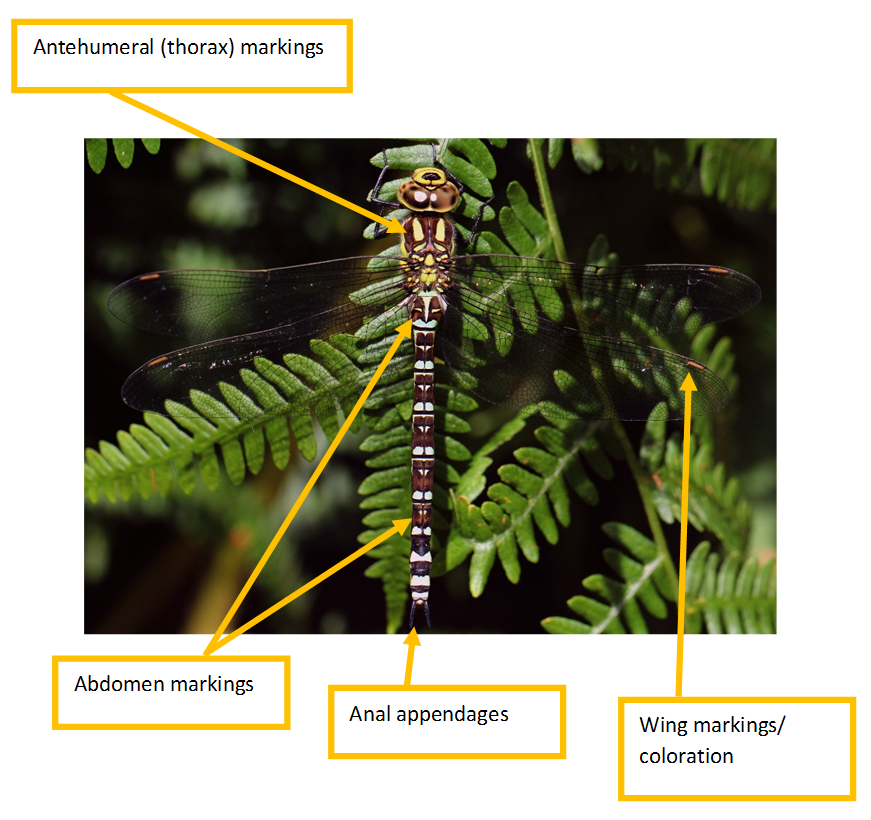 Identification help - British Dragonfly Society