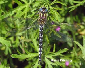 Hairy Dragonfly (c) David Kitching