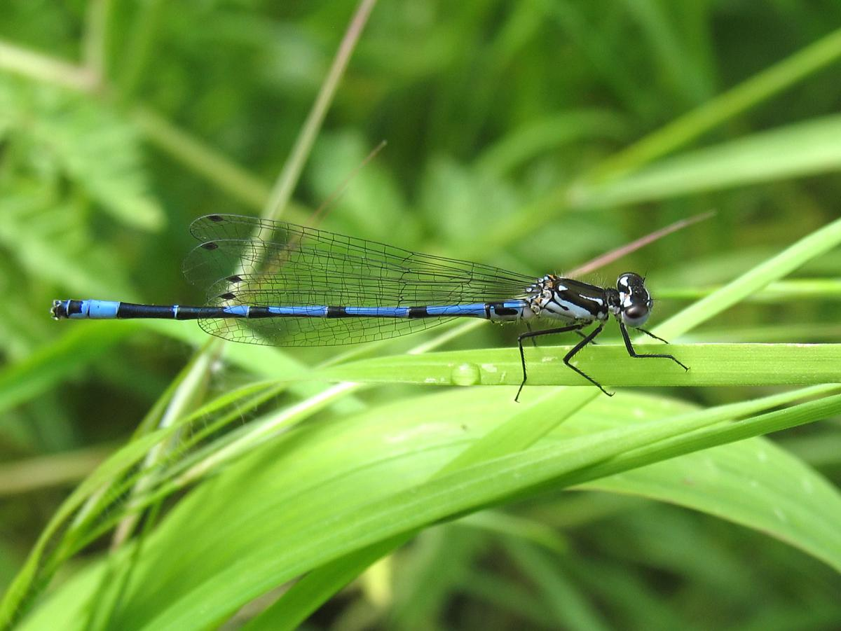 Variable Damselfly site page (c) David Kitching