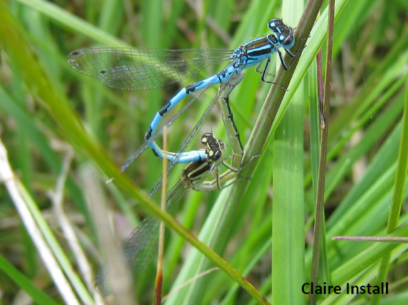 Southern Damselfly in cop by Claire Install