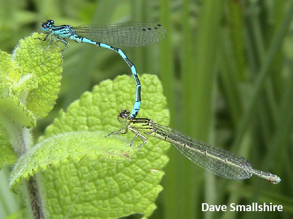 Wales page cons Southern Damselfly in cop Dave Smallshire