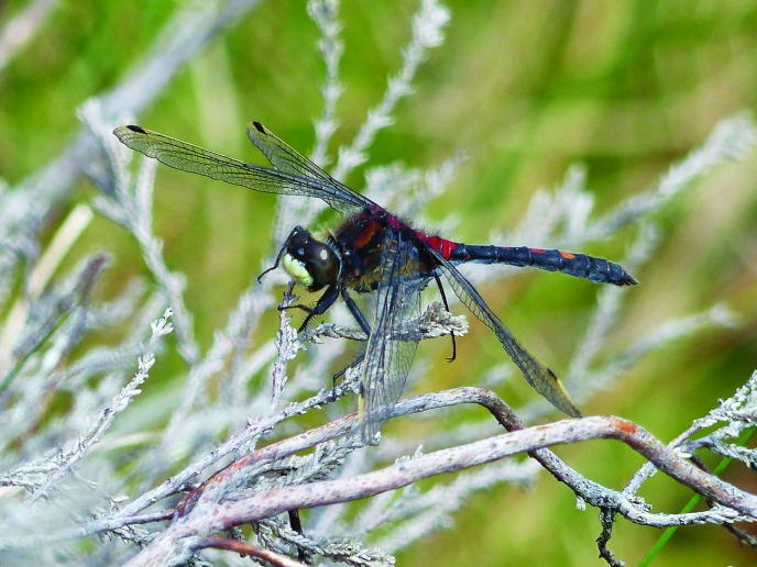Hopes flying high for seeing rare dragonflies in north Cumbria