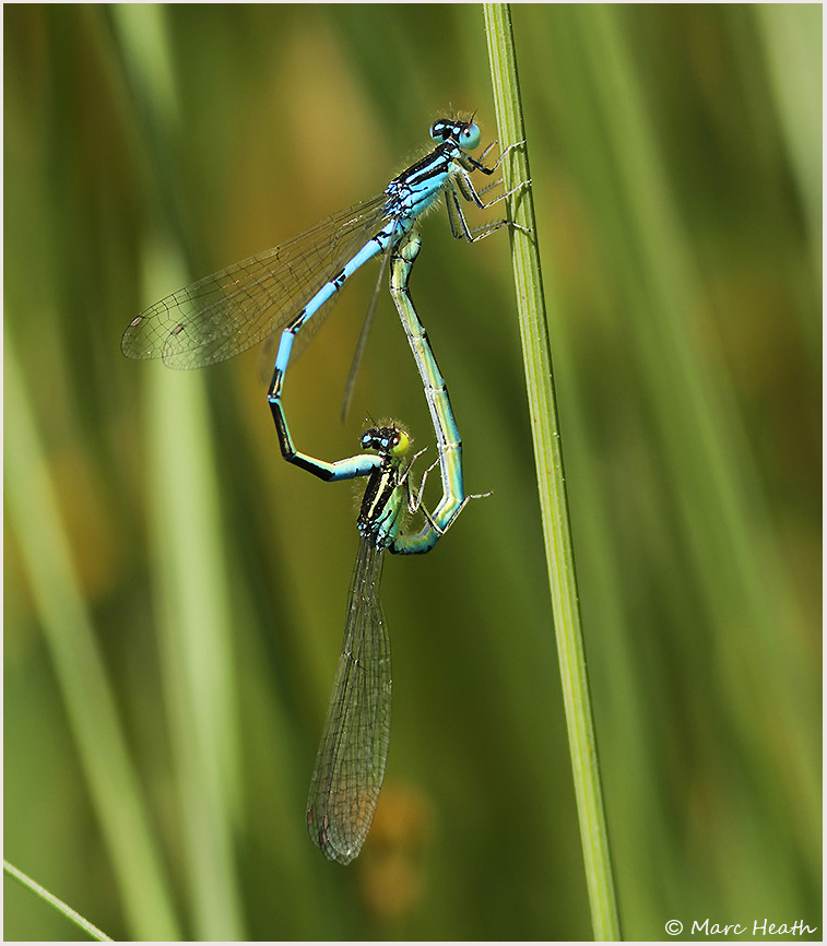 Our Rarest Damselfly Triples its Population !